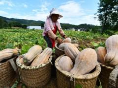 贵州思南:坝区迎丰收