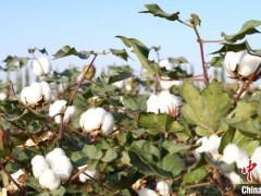 H&M、耐克们,对新疆棉花一无所知!