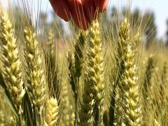 粮价预警:一下子来了6个消息,都是关于粮食的,怎么解读?