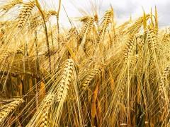 小麦一天三落,玉米也迎来降价消息,粮食的降价能否拯救当下猪市