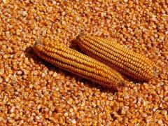 20多家企业玉米降价!玉米即将筑底?新玉米开秤价暴涨300元
