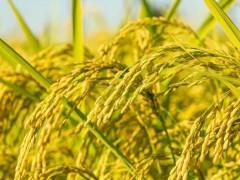 玉米加速下跌,稻谷低迷,小麦突破新高,粮价9月份走势如何?